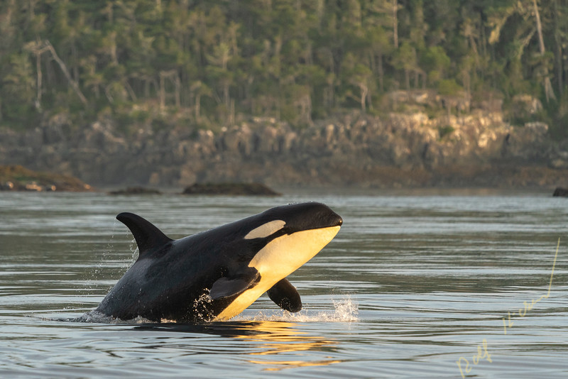 Northern resident killer whale (orcinus orca) breaching near Pearse Islands off Telegraph Cove, Vancouver Island, First Nations Territory, British Columbia, Canada