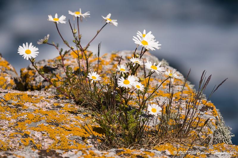Strandkamille - Tripleurospermum maritimum - Sea mayweed