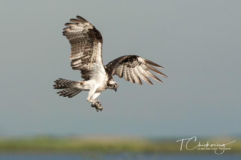 Osprey Mother in Flight with Fish Three-1507684855517.jpg