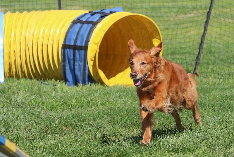 3-31-2018 Shetlant Sheepdog-3050.jpg