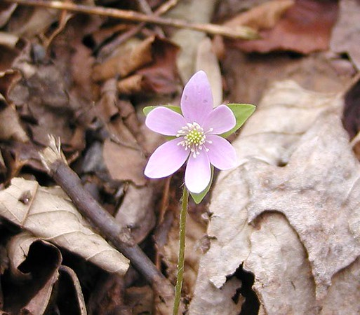 Hepatica spp? --a very pink specimen.  I did not see any foliage around to be able to distinguish if this was the sharp-lobed or round lobed variety of hepatica. Ranunculaceae White Oak Sinks, GSMNP, TN 2008