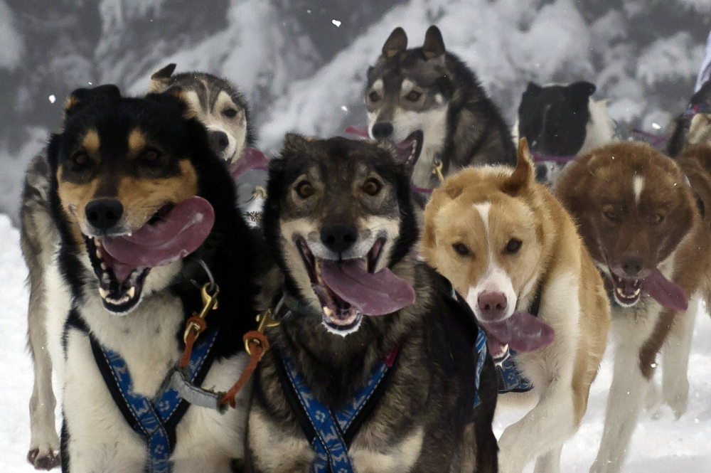 Description of . A musher competes, on January 10, 2011 in Praz-sur-Arly, French Alps, during the fouth stage of the 7th edition of