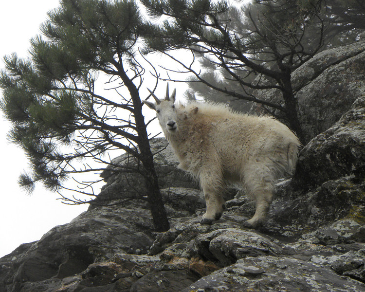 Mountain goat in the fog