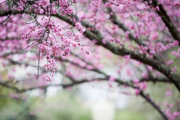 New: Cherry Blossoms + Rain
