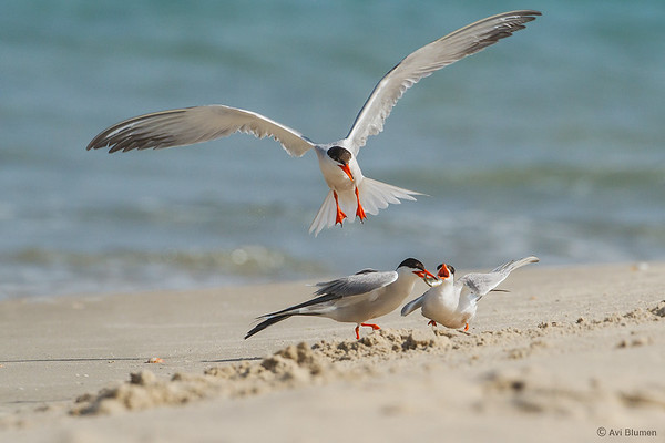 Common Terns Courtship .  שחפיות ים- חיזור