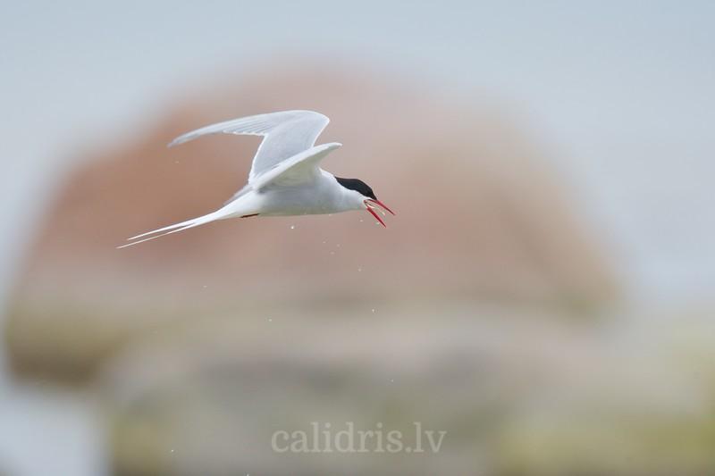 Arctic Term in flight eating a fish / Jūras zīriņš