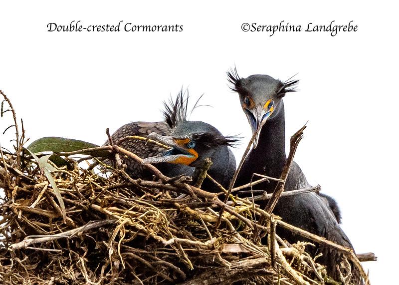 _DSC0259Double-crested Cormorants.jpg