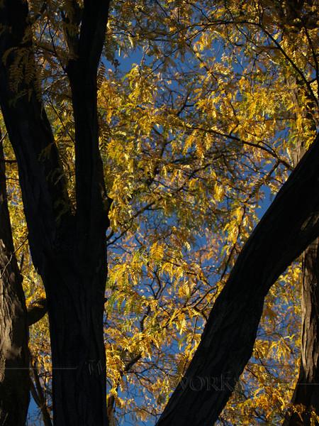 Beautiful Honey Locust in Autumn, PA