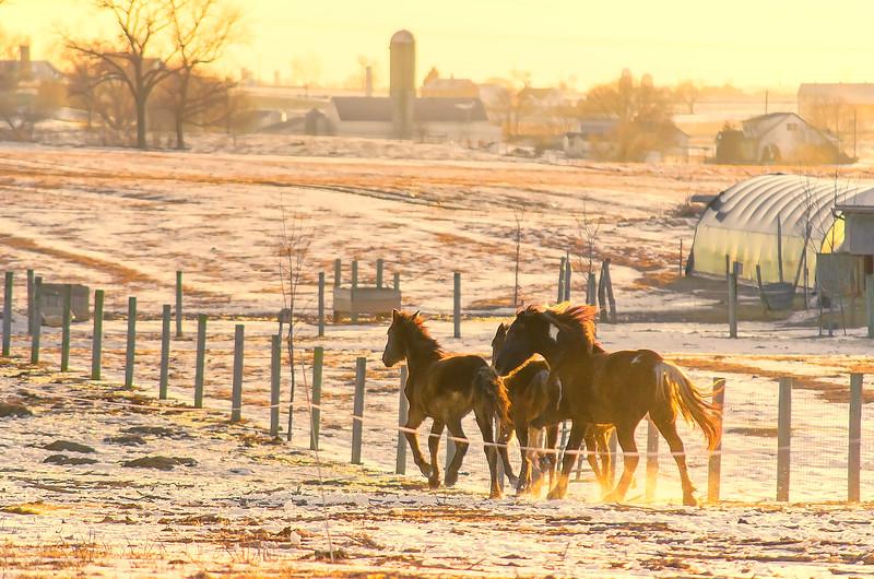 222 snow - horses galloping at sunset(p).jpg