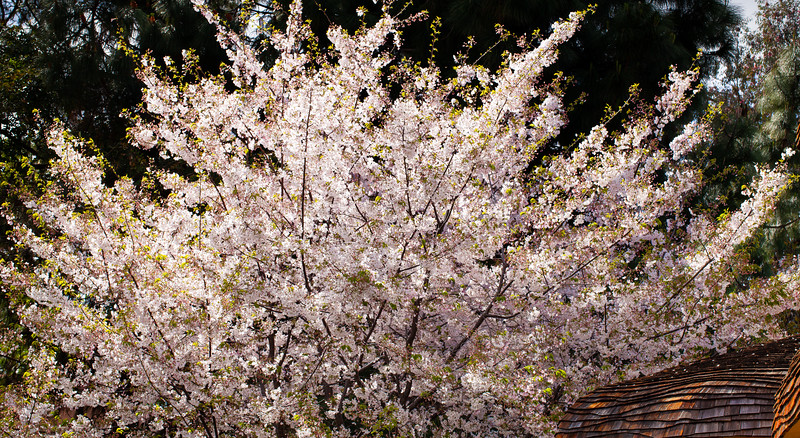 Blossoms, Ainsley House, Campbell, California, 2010