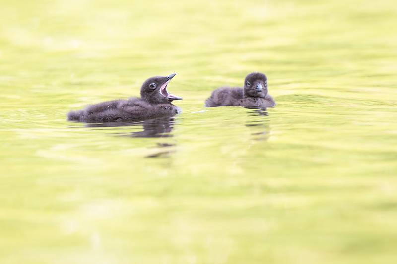 #1248 Common Loon Chicks
