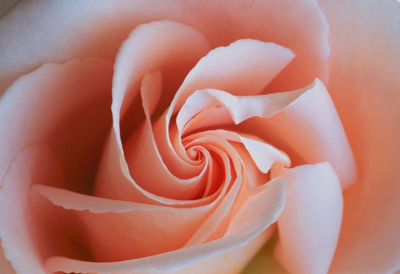 Swirling Rose