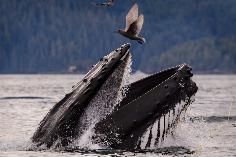 Humpback whale lunge feeding on a calm fall day in the Broughton Archipelago, Great Bear Rainforest, First Nations Territory, British Columbia, Canada.