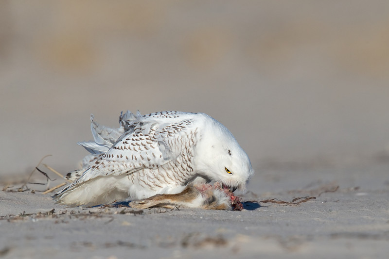 Snowy Owl eating Rabbit 5_O8U2081-Edit.jpg