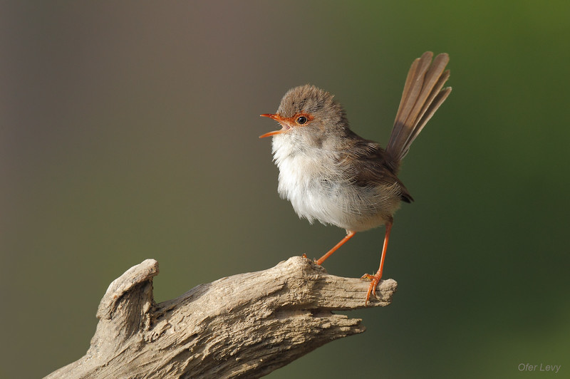 Superb Fairy Wren  1.jpg