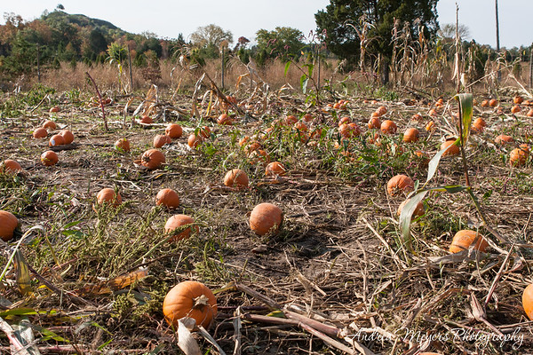 Ticonderoga Farms: Autumn Pumpkins