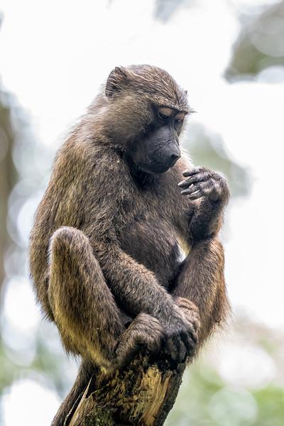 Uganda_T_Chimps-1506.jpg