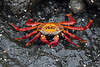 These Sally Lightfoot crabs were addictive.  I must have taken hundreds of photos of them.  Be glad I didn't include all the pics!