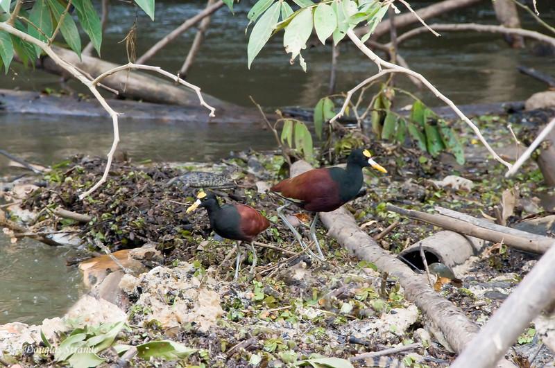 Cano Negro: Jacanas