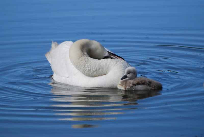 Swan & Chick (2).JPG