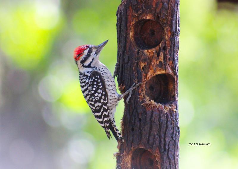 Woodpecker 1-16-15 234.jpg