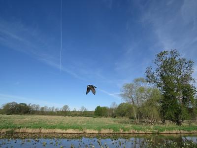 Tree Swallow flight 1