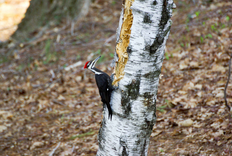 Backyard woodpecker (3 of 7)