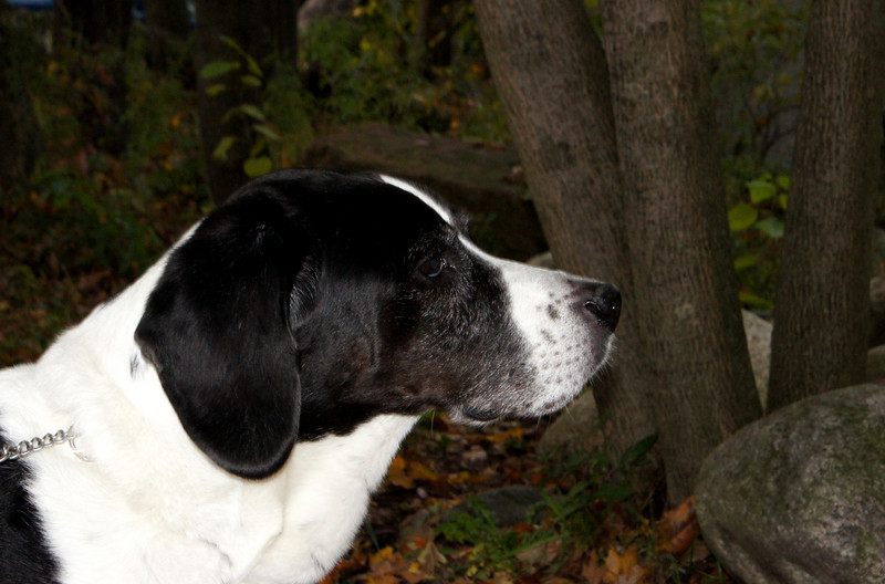 """Camera shy canine: Meet """"Snoopy"""", my neighbor, Patty's dog. Snoopy is a bit camera shy and refused to even take glance in my direction. Snoopy was kind enough, however, to profvide me a profile shot...."""