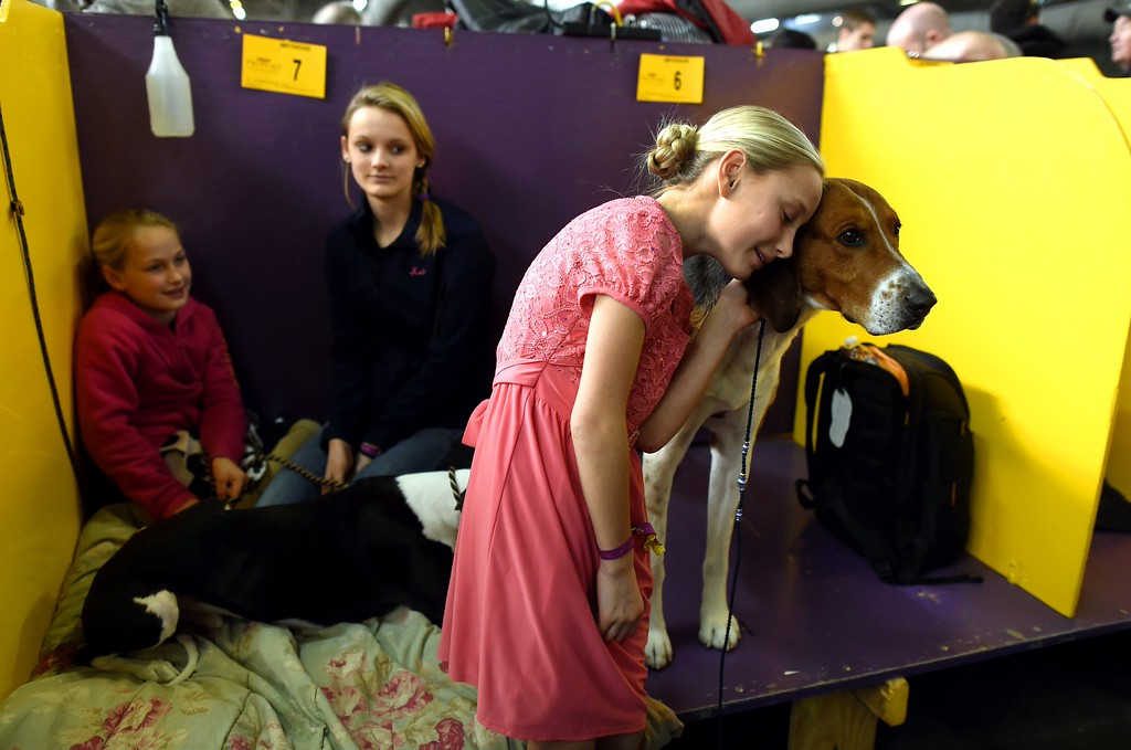 ". Faith Rogers,11, with American Foxhound ""Bobby in the benching  area at Pier 92 and 94 in New York City on the first day of competition at the 139th Annual Westminster Kennel Club Dog Show February 16, 2015. The Westminster Kennel Club Dog Show is a two-day, all-breed benched show that takes place at both Pier 92 & 94 and at Madison Square Garden in New York City.    AFP PHOTO /  TIMOTHY  A. CLARYTIMOTHY A. CLARY/AFP/Getty Images"