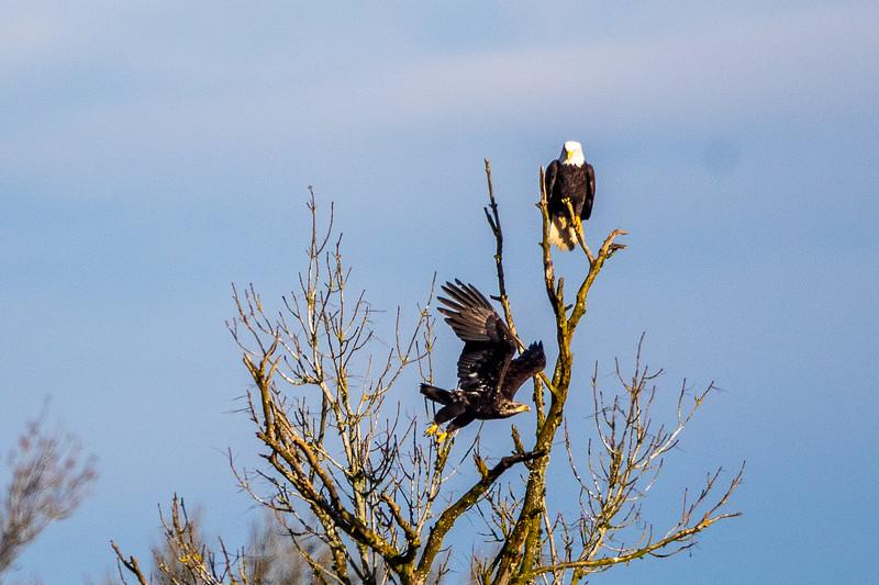Bald Eagle Tree Dispute -0198.jpg