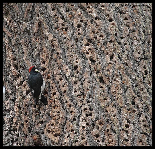 Acorn Woodpecker with tree full of acorns stored, Cuyamaca Rancho State Park, San Diego County, California, March 2010