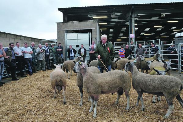 Welshpool multi breed sheep Oct 2013