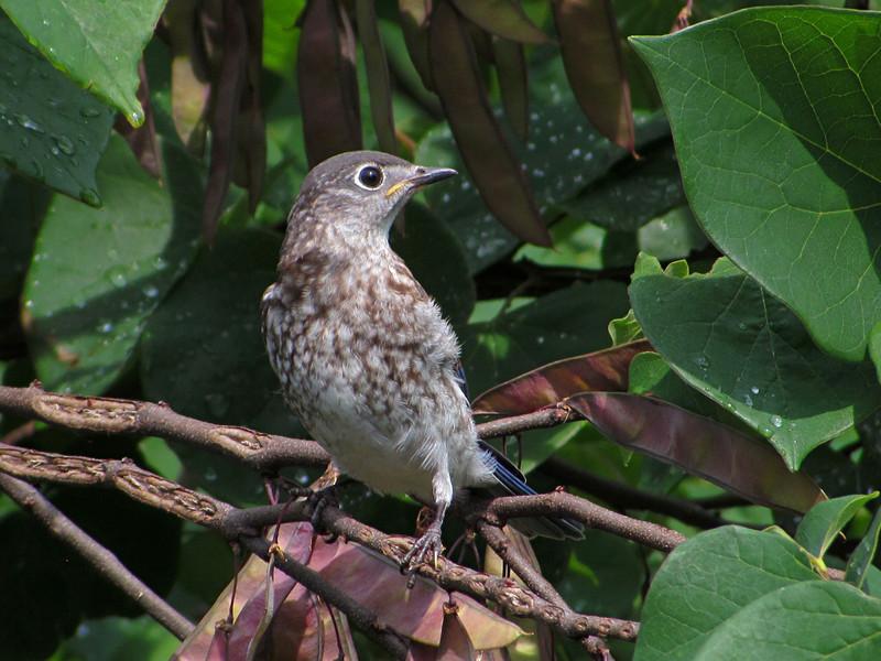 sx30_bluebird_fledgling_116.jpg