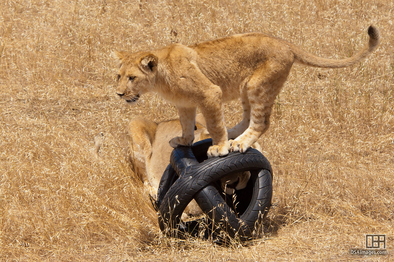 Seven month old lioness cub with enrichment toy