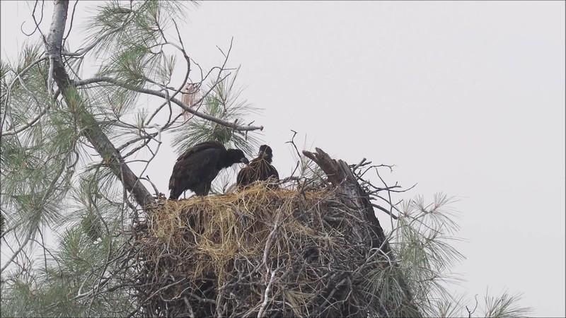Bald Eagle Family 2.mp4