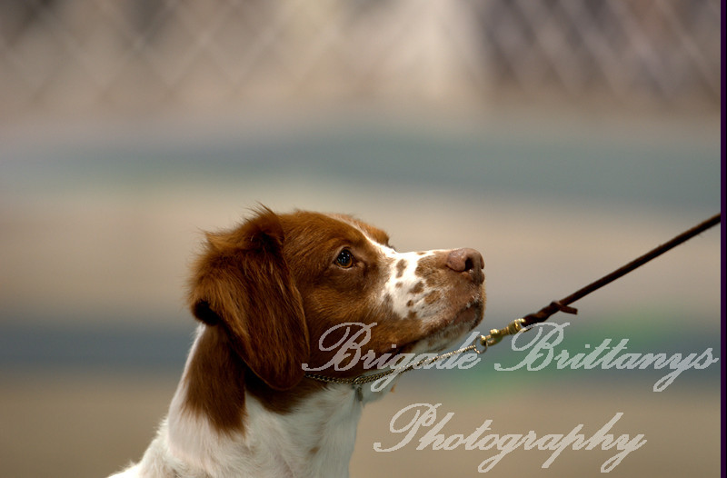 43 CH BRIGADE'S HI HOPES ROCKET JH , SR41073501 3/10/2007. Breeder: Michael Frane. By FC AFC Burford's Booked First Class -- Maison De Chasse Magnifique. Deborah and Michael Frane Rocket is our first Champion and hopefully soon are first Grand Champion.