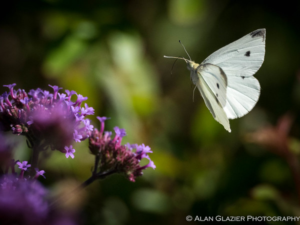 Cabbage Butterflies