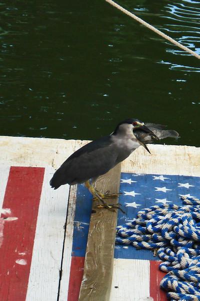 Bird caught a Fish.jpg