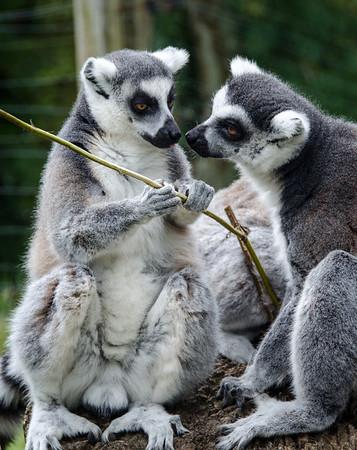 Durrell Lemurs