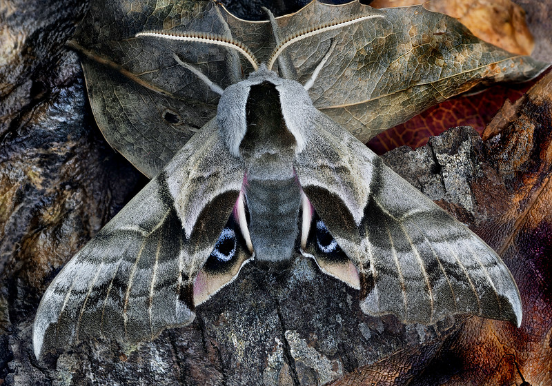 Mountain Prairie Sphinx Moth