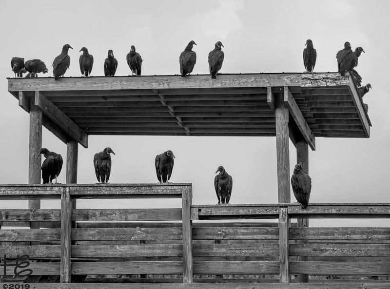 Black vulture convention