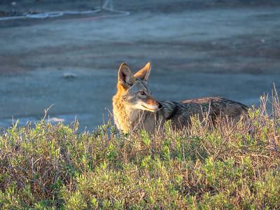 Coyote December 8 2018