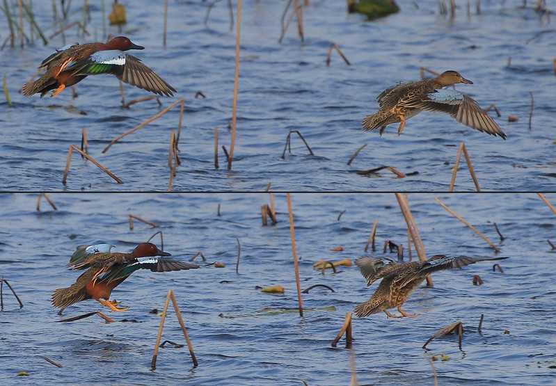Male and female Cinnamon Teal flare for a landing-composite.