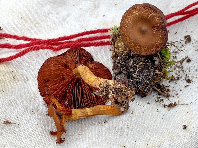 Mushroom -28