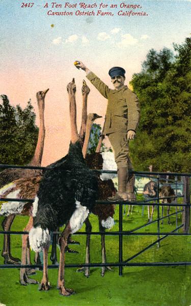 Ten Foot Ostrich Reach