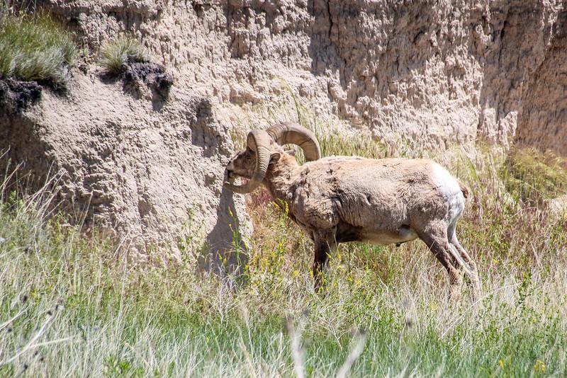 Bighorn Sheep - Badlands Naitonal Park