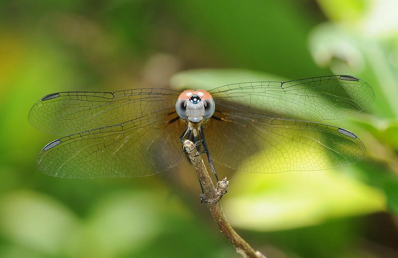 Pachydiplax longipennis (Blue Dasher), GA