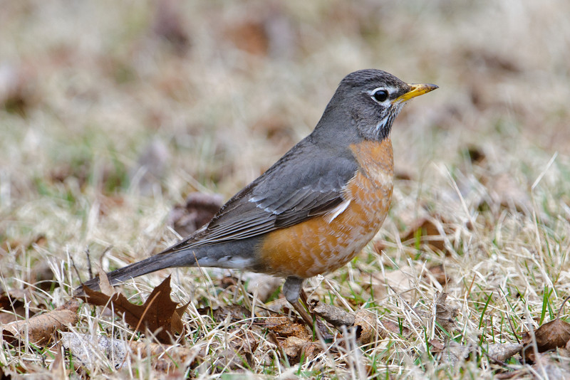 Robin - American - Dunning Lake, MN - 04