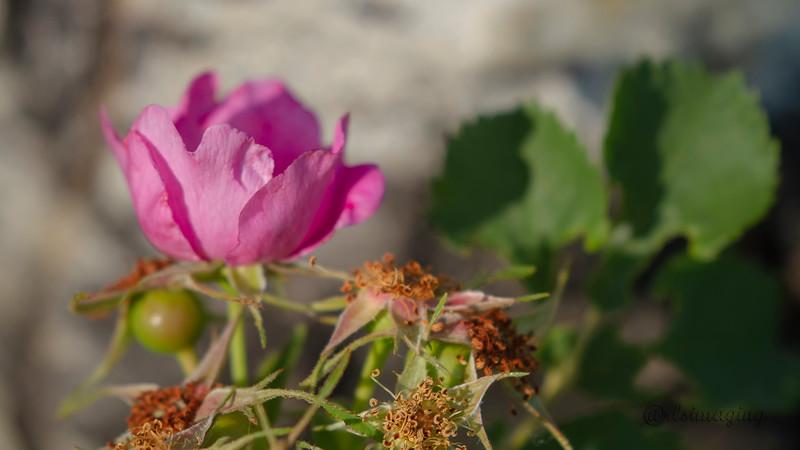 IMG_4660 wild rose.jpg