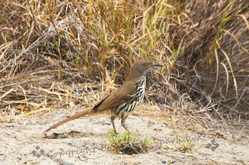 Long-billed Thrasher ~  Photographed in central Texas.